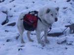 Packdog, Svalbard.